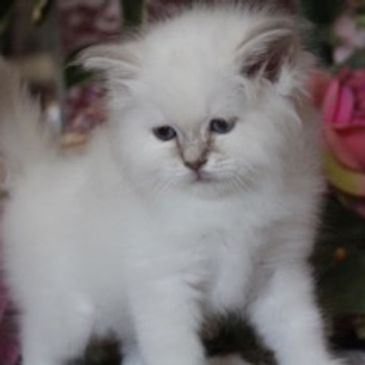 Femminuccia lilac tabby point disponibile