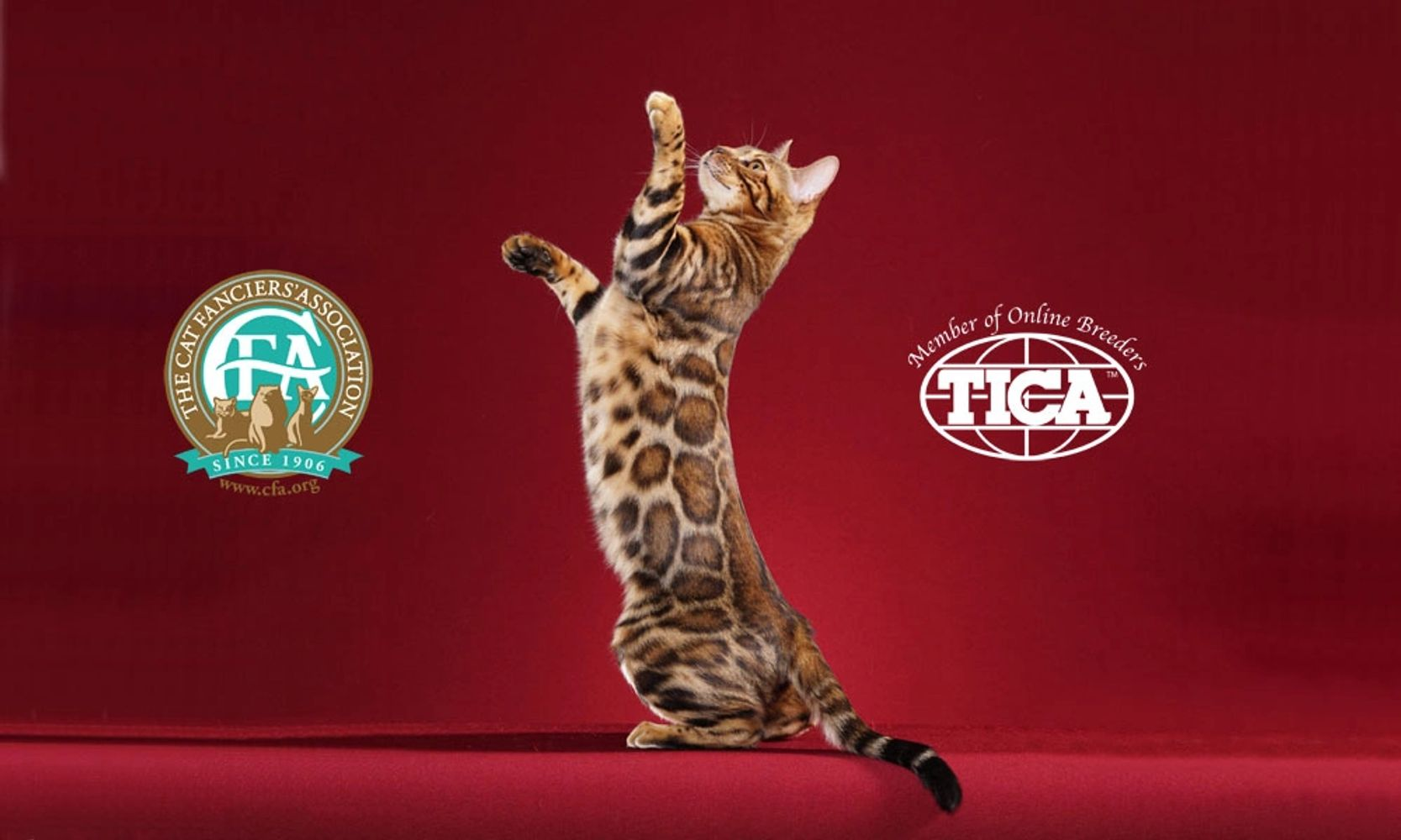 A Bengal cat standing and reaching. Paintedcats Red Star standing