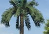 Natural Palm Tree Monopole