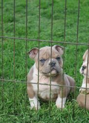 Bully Puppies for Sale - Southeast Bully Kennels | Southeast