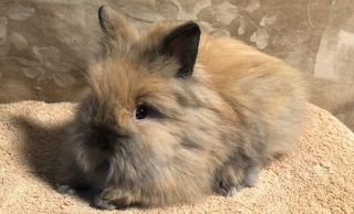 Furbie is a Lionhead with tiny black ears, a black nose, tail, and feet.  Her fur feels like fluffy