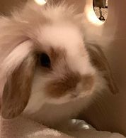 LZZY is a Lionhead Lop mix.  She is cutest when she has one ear raised and one ear down.  An escape