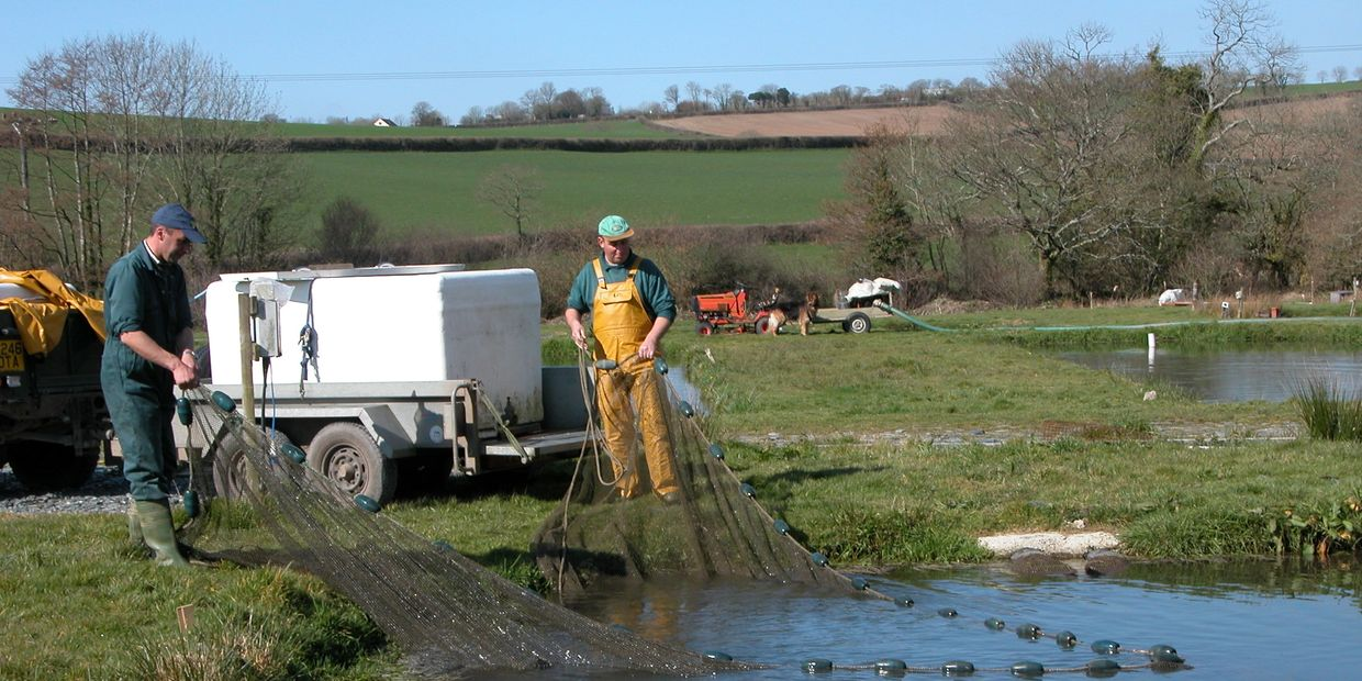 Trout Farm, Rainbow Trout, Blue Trout, Brown Trout, West Devon, Cornwall, Milemead Fisheries