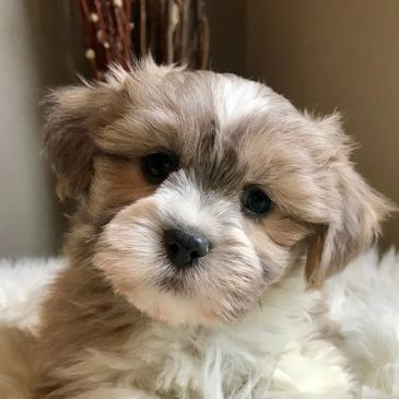 Teeny Pup - Shih Tzu, Morkie, Reputable Breeder