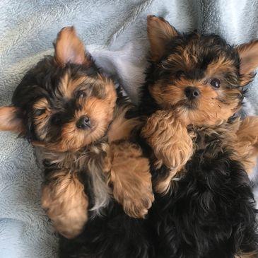 Teeny Pup - Shih Tzu, Morkie, Reputable Breeder