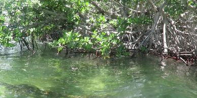 Mangrove shoreline at data collection site – Key West, FL, 4 July 2019