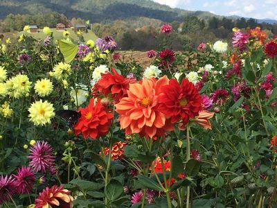 This picture of the field at Leatherwood Dahlias was taken and sent to me by Robert Matthews!
