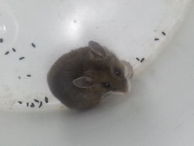 Small deer mouse