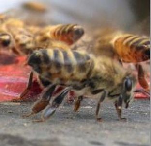 Honeybee are fuzzy with golden orange colour between black stripes.