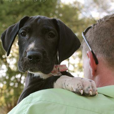 Legacy Danes Great Dane Great Dane Breeder In South Carolina