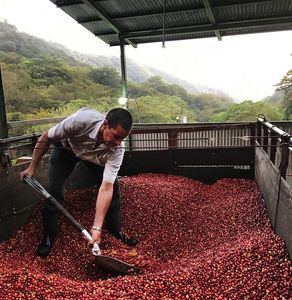 Costa Rican coffee farmer tossing the beans to dry them out.  Coffees are single origin, blends, dar