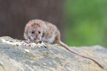 (Rat Removal) (Rat Control) (Mouse Removal) (Mouse Control) (Rodent Removal) (Rodent Control)