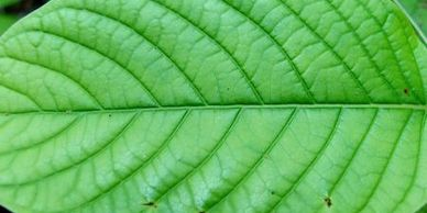 Organic Kratom - Green Veined Kratom Leaf image used on the All About Kratom page
