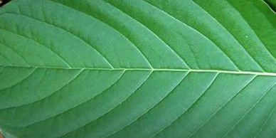 Organic Kratom - White Veined Kratom Leaf image used on the All About Kratom page