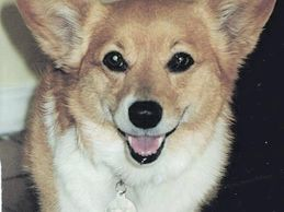 smiling gold dog with big ears