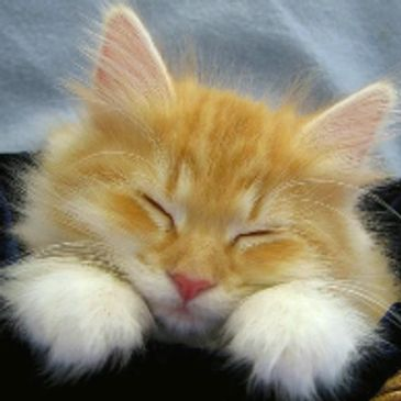 sleeping gold kitty face with white paws