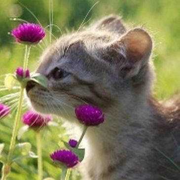 gray kitten smelling purple flowers outside