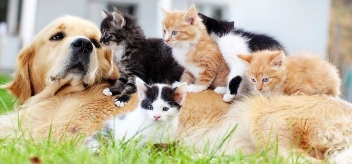 five black and white and gold kittens playing on top of big golden dog lying on grass