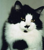 black and white cat with black markings on face