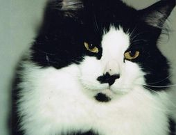black and white cat with black spots on face