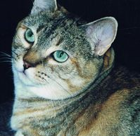 beautiful gold and gray cat with green eyes