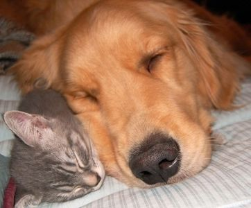 gray cat and gold dog sleeping together