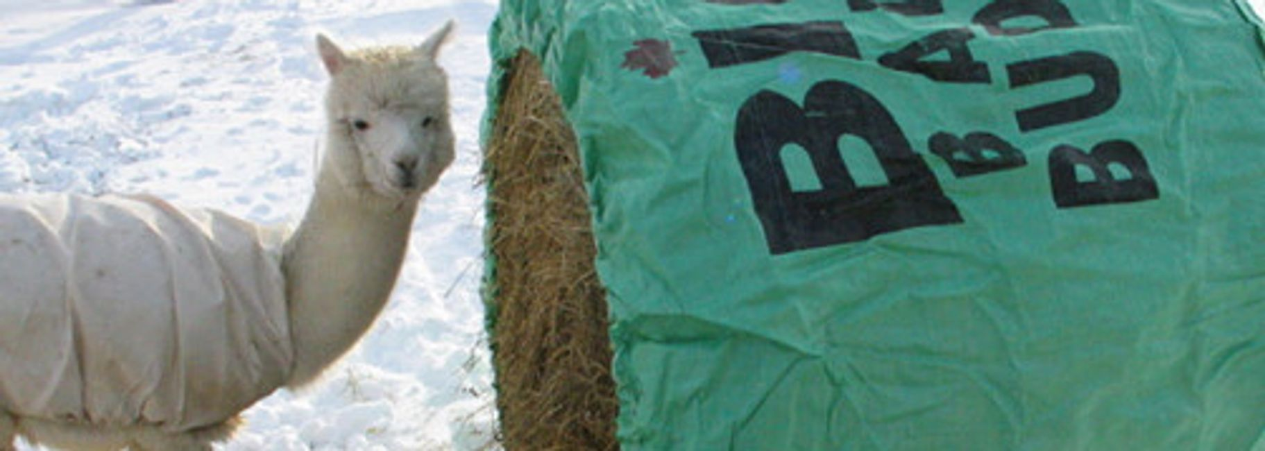 alpaca using a Big Bale Buddy round bale feeder