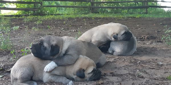 Kangal pups out of Lynx/Cole