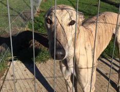 Retired greyhounds Milton Keynes