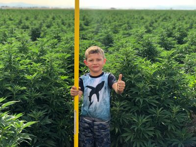 My oldest son Matthew is measuring  CBD rich hemp right before its cutting