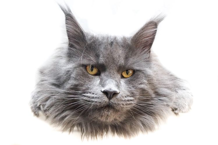 Maine Coon - Oberon - Head - Mountain Mainecoons - Mt Coons - Mtn Coons