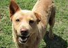 Chili is an older Chow mix who is as laid back as they come.  HW neg/60 lbs/spayed.