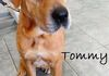 Tommy is scheduled for surgery on his leg and then to treat heartworms.  He will be up for adoption soon and available for meet and greets.