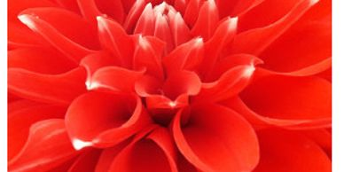 Art photo of a gorgeous dahlia by Edmonds photographer Karen Ulvestad. Available in several sizes.