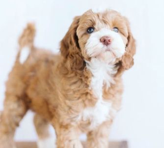Rory the Authentic Australian Labradoodle Puppies