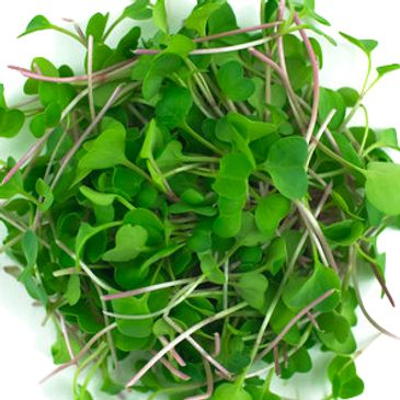 Radish Red Arrow Microgreens