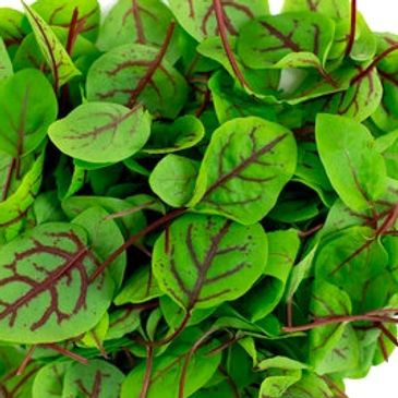 Red Veined Sorrel Microgreens