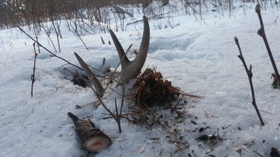 Finding a fresh antler while shed hunting is exciting!