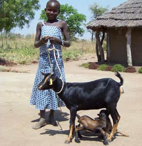 Income generating goat project in Uganda.  Helping vulnerable children who have lost their parents.