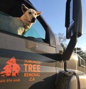 Toronto Tree Removal Inc. truck featuring our lovely companion, Holly.