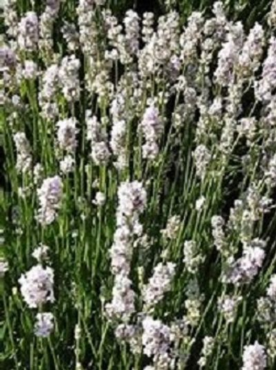 Melissa English lavender has white / pink flowers