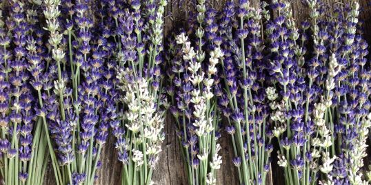 bundles of fresh white and purple lavender