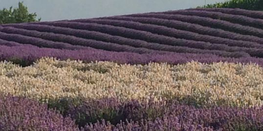 rolling fields of pink, purple and white lavender