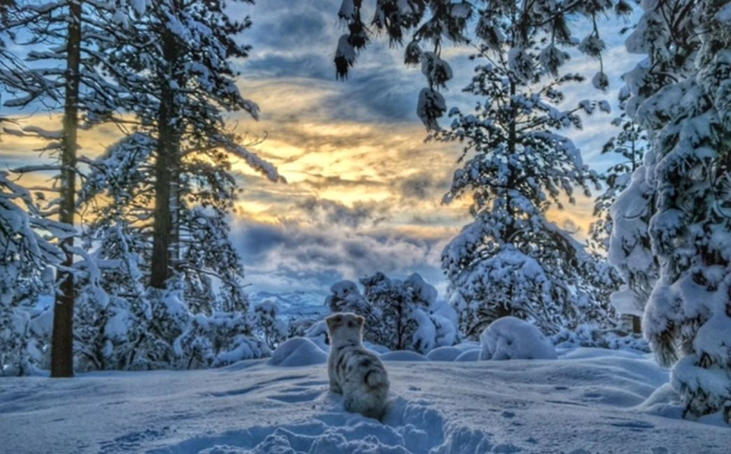 Australian Shepherds in Oregon The goose in the snow at Tahoe