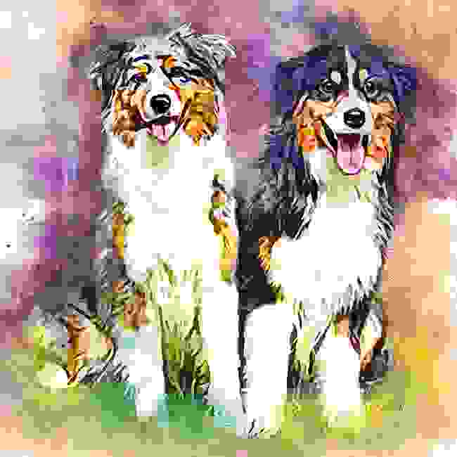 Australian Shepherds Bright Eyes Partee and Legend