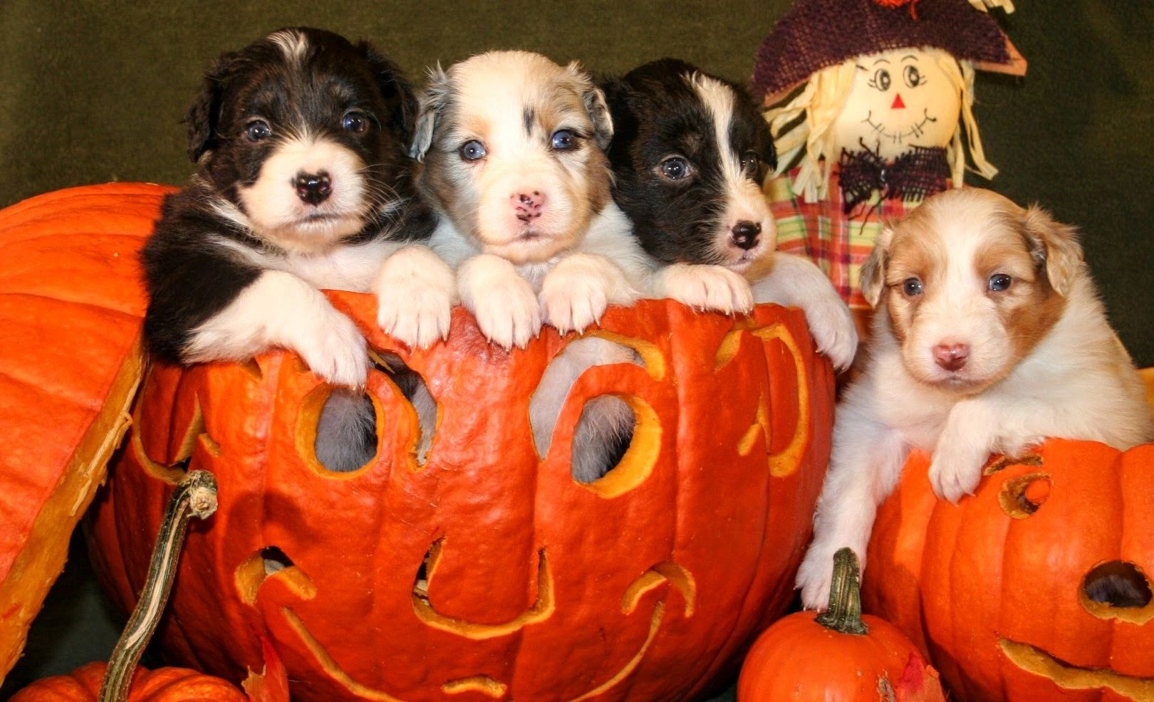 Puppies in jack o lantern
