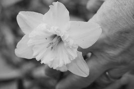 A hand wearing a wedding band holds a daffodil flower