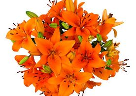 Orange Bulk Wholesale cut Lilies