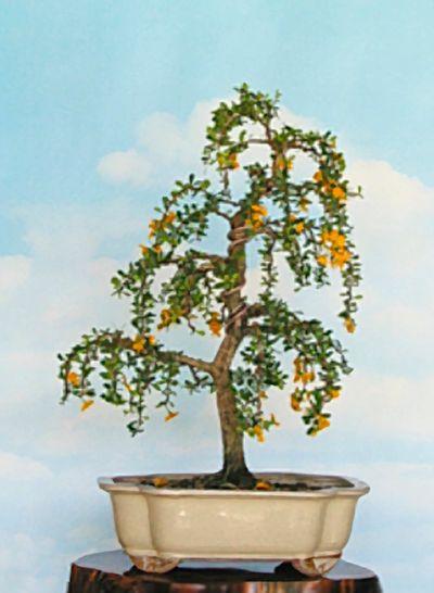 2012 Trees Of The Month Broward Bonsai Society