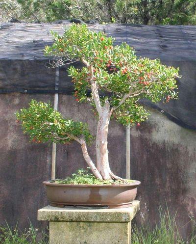 2009 Trees Of The Month Broward Bonsai Society